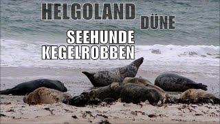 Helgoland Düne - Seehunde & Kegelrobben im Oktober