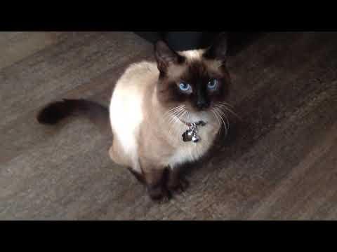 Ragdoll cat with beautiful blue eyes