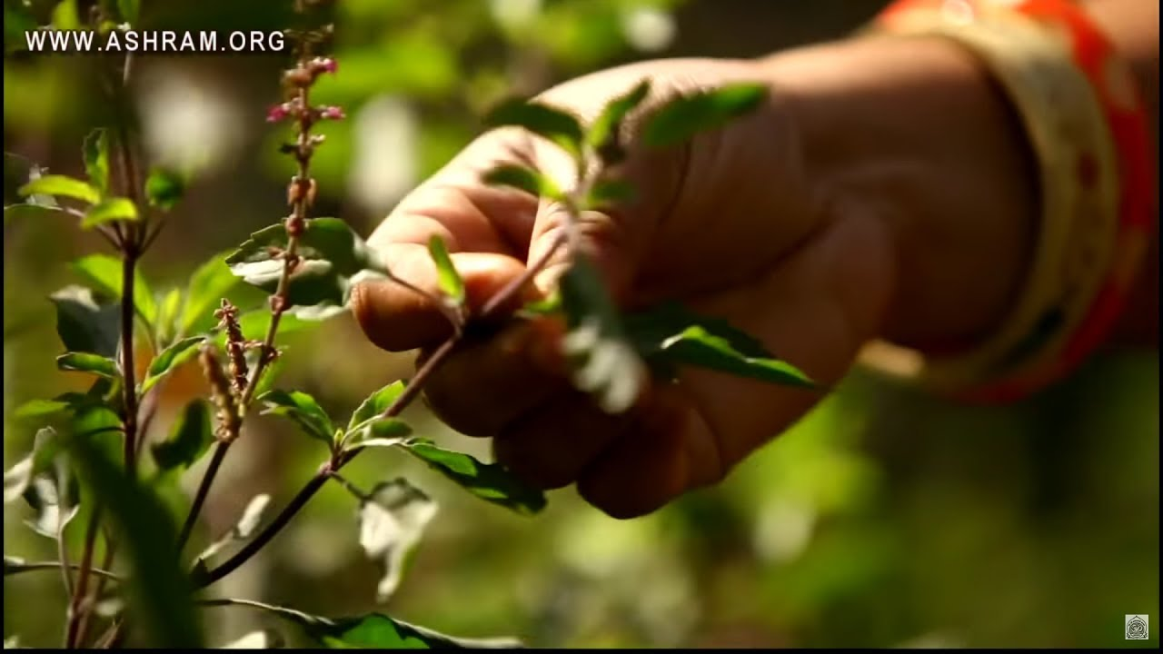 तुलसी की पत्तियाँ तोड़ने वाले ये वीडियो जरूर देखें। Rules to Follow Before  Plucking Tulsi Leaves