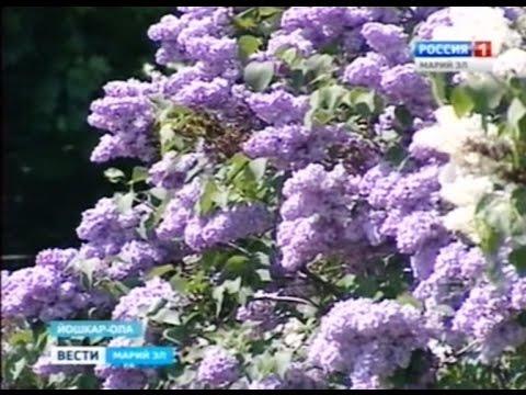 Ботанический сад ПГТУ организовал праздник сирени - Вести Марий Эл