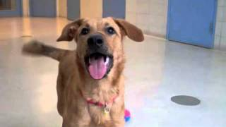 George A Golden Retriever:shepherd Mix Available For Adoption At The Wisconsin Humane Society