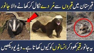 Amazing Facts about Animal Badger Biju Ke Haqaiq Animals Facts Urdu Shan Ali TV