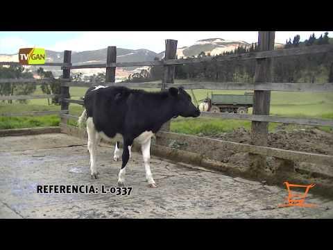 2015: HEMBRAS DE LEVANTE TIPO LECHE, PESO PROM/ANIMAL  171.6 KG TENJO-CUNDINAMARCA, L-0337