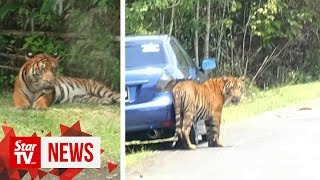 "Perhilitan believes tigers on the loose in T'ganu might be someone's ""pet"""