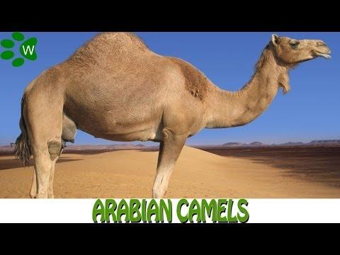 The Arabian Camels