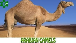 The Arabian Camels