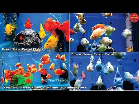 Parrot Fish Yellow Parrot , Green & Blue Parrot Fish Marine Aquarium Mysore