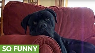 Dog totally bewildered by baby's laughter