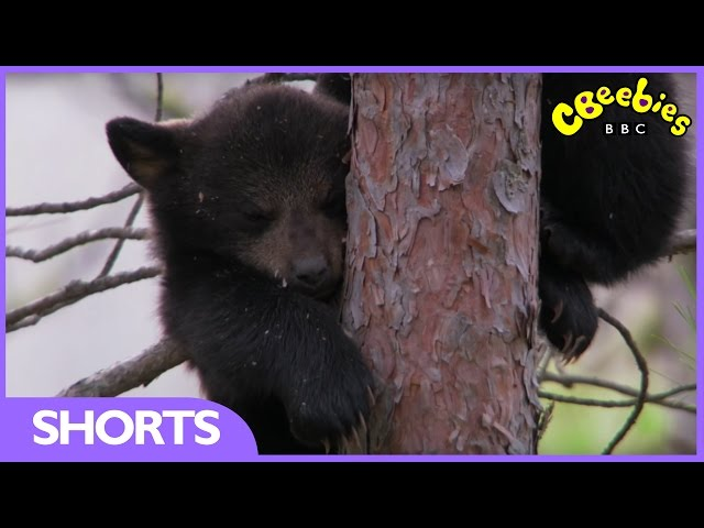CBeebies | Andy's Baby Animals | Climbing black bears