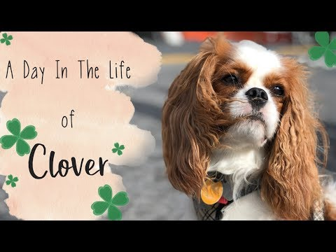 A Day In The Life of Clover ☘️ The Cavalier King Charles Spaniel 🐶