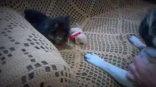 Yorkshire Terrier Brincando Com Um Pug