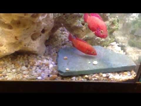 Jewel fish laid eggs