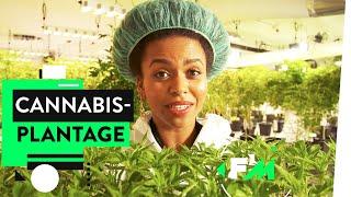 Legales Gras? So wird CBD angebaut