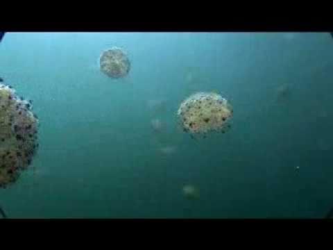 Jellyfish Invade The Mediterranean