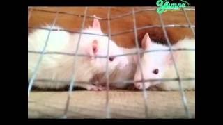 Meraup Keuntungan Beternak Tikus Putih