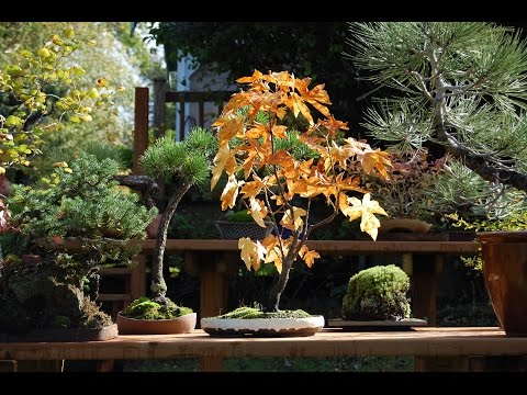 ACER CIRCINATUM: Vine Maple Bonsai