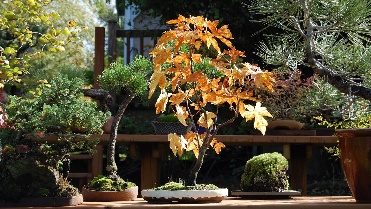 Acer Circinatum Vine Maple Bonsai Youtube
