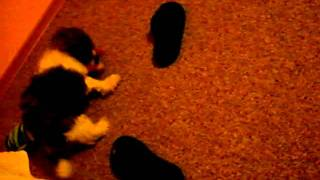 Astro [ Shih Tzu ] - Wieczorne Harce