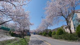 보령 주산 벚꽃길4