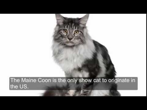 7 Maine Coon Cat Facts inc Harry Potter Secret