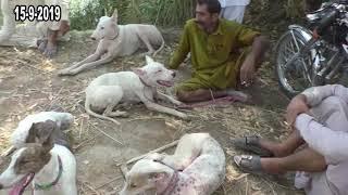 Gambar cover New Tonsa Beraj Shakar new video in Tonsa Biraj Near Kot Addu dods and pigs 2019 Par2 03006186575