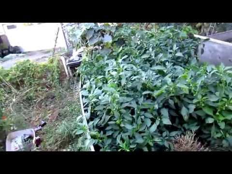 2016 French Biointensive Organic Raised Bed Garden--Update 20