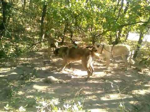 Kangal boz yılanı ikiye böldü!!!