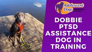 Dobbie the Labrador - PTSD Assistance Dog In Training