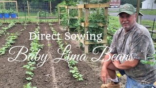 HD How to Grow Baby Lima Beans By Direct Sowing