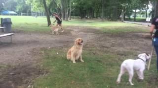 wow check out 2 year old golden retriever caesar golden retriever dog training in virginia