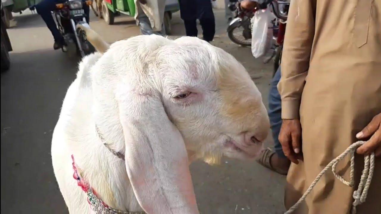Bakra Mandi After Bakra Eid 2019 - [ FRESH VIDEO ] - Lahore Bakra Mandi  (2019)