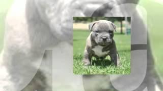 Training Pitbull Puppies Not To Bite