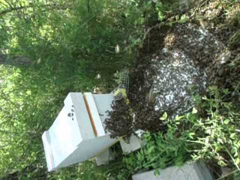 youtube how to catch a bee swarm