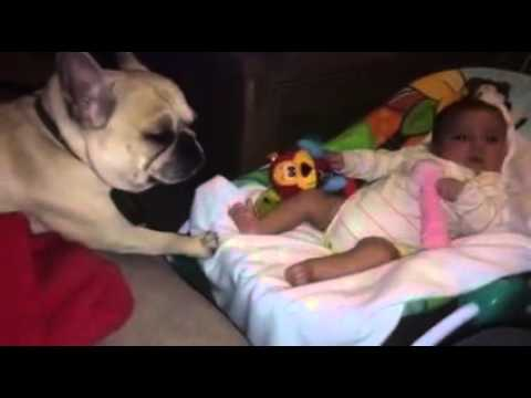 French Bulldog Takes Care of Baby