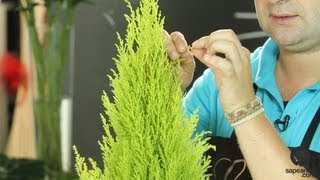 Cuidados del Cupressus - Pino limonero - Cultura de Flor - Sapeando