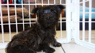 Cairn Terrier, Puppies For Sale, In, San Antonio, Texas, Tx, Pasadena, Brownsville, Grand Prairie