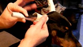 Ear Taping A Doberman Puppy With Akolade Dobermans