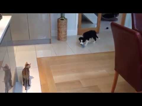 Border Collie Pup meeting Bengal Kitten