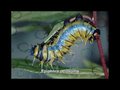 Saturniidae of the World - Pfauenspinner der Welt