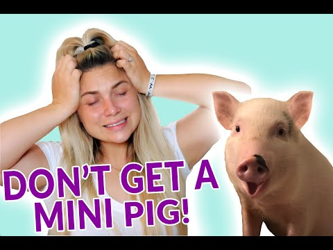 7 Reasons NOT To Get A Mini Pig!