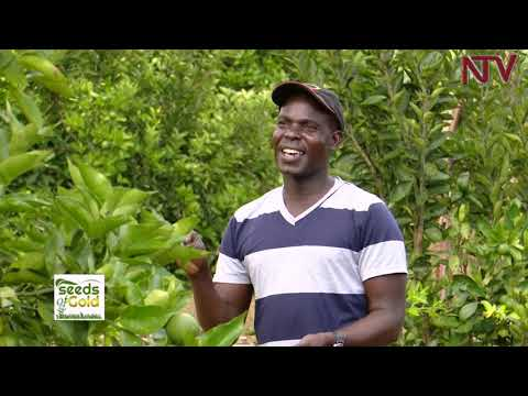 SEEDS OF GOLD: The sweetness in growing oranges