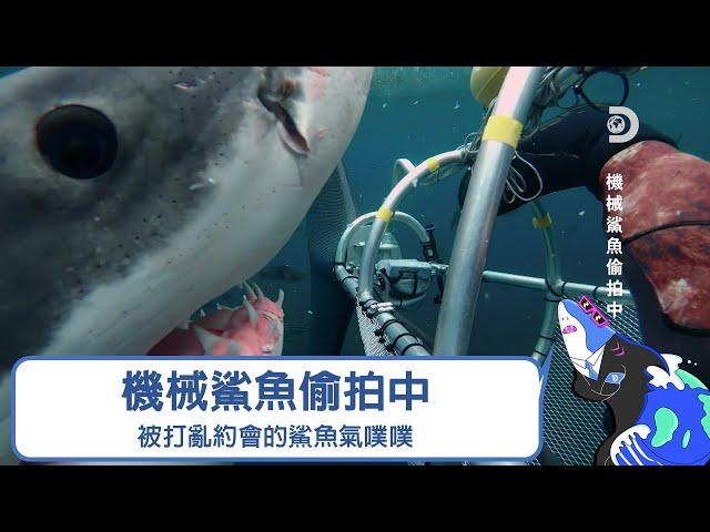在間諜鯊魚裡面打亂鯊魚們的約會,然後公鯊氣噗噗來理論!《2021鯊魚週:機械鯊魚偷拍中》