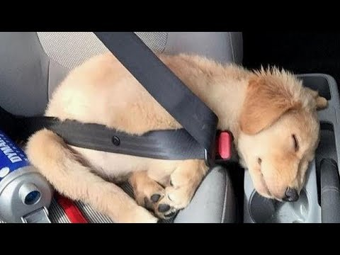 Funny & Cute Golden Retriever Videos #77 - Compilation 2017