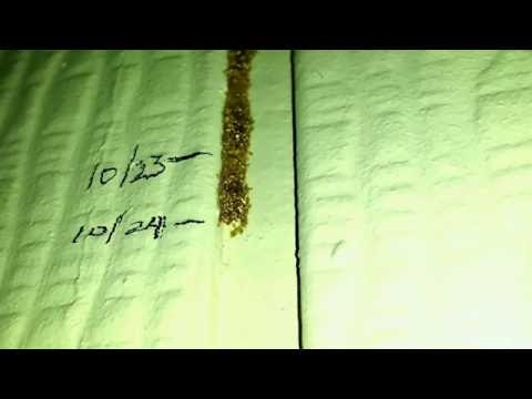 What do termites look like? Here are two live termites building a mud tube.
