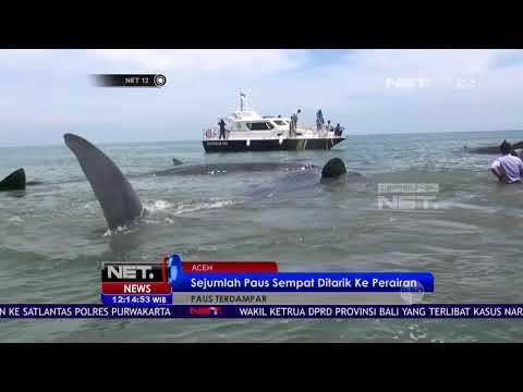 Warga Aceh Evakuasi 10 Paus Sperma Terdampar - NET12