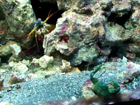 Huge Emerald Crab | Doovi