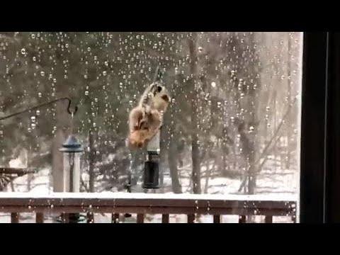 Raccoon Vs. Birdfeeder During Ice Storm (slip Slide Away)