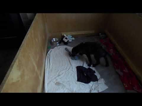 Deerhound Lurcher Puppy -  Margot