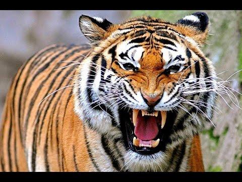 Храбрый человек Назар случайно убил Тигра. 499 тыс. просмотров.
