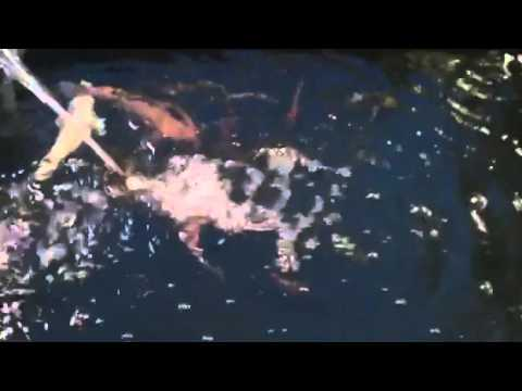 ปลาคาร์ฟ ในบ่อเลี้ยงทำเอง สวยๆ